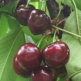 Саженцы черешни Кармен, фото 2