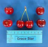 Саженцы черешни Grace Star, фото 2