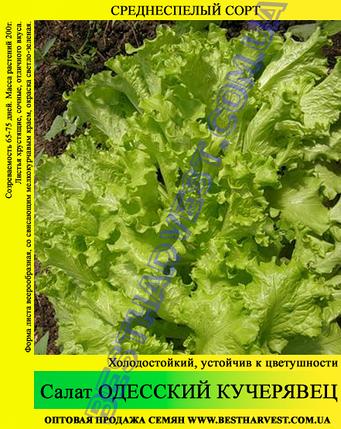 Семена салата «Одесский Кучерявец» 10 кг (мешок), фото 2