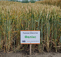 Насіння озимої пшениці Фелікс