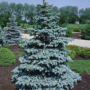 Саженцы Ели Мейера (Picea meyeri)