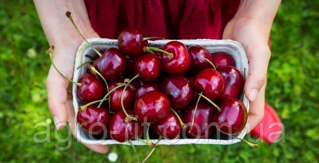 Плоды черешни сорт Тамара
