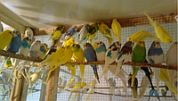 Волнистый попугай от 28 дней