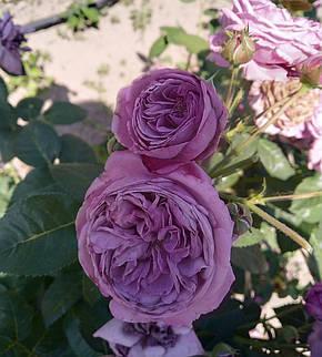 Роза Блю скай Фрилендер (Blue sky freelander) спрей, фото 2