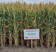 Насіння озимої пшениці Атлон
