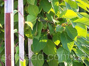 Лимонник китайский ( саженцы 2 года) черенкованые ЗКС, фото 2