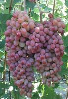 Саженцы винограда Водограй