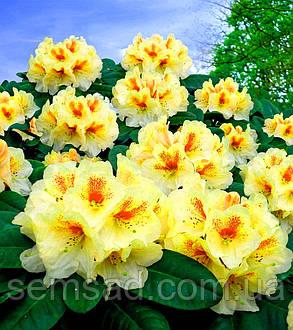 """Рододендрон """" Голд Букетт """" \ Rhododendron Goldbuckett ( саженцы 2 года ЗКС ), фото 2"""