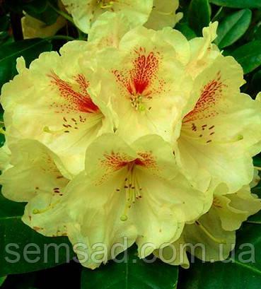 """Рододендрон """" Голд Букетт """" \ Rhododendron Goldbuckett ( саженцы 2 года ЗКС )"""