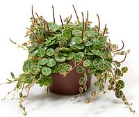 Пеперомия стелющаяся (Peperomia prostrata) -  многолетнее, неприхотливое, вечнозеленое, эффектное растение