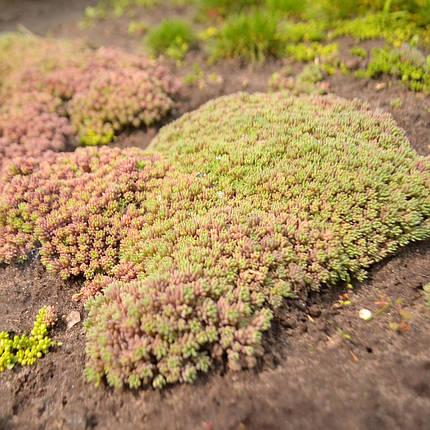 Очиток (седум) розовый мелколистный, фото 2