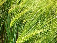 Семена озимого ячменя  Наомі