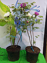 Пион Древовидный Увайт Анастейша \ paeonia suffruticosa White Anastacia ( саженцы 4 - 5 лет цветущие ), фото 3