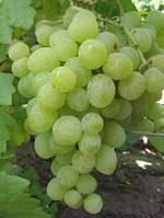 Саженцы винограда Кеша-1 ( Талисман )