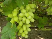 Саженцы винограда Ландыш