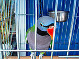 Китайский попугай или чинский попугай (лат. Psittacula derbiana), фото 4