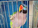 Китайский попугай или чинский попугай (лат. Psittacula derbiana), фото 5