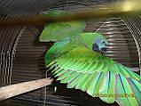 Китайский попугай или чинский попугай (лат. Psittacula derbiana), фото 2