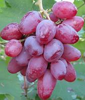 Саженцы винограда Рута