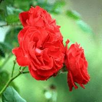 Саженцы Розы Миниатюрной 'Ред Капелька'