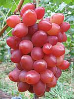 Саженцы винограда София
