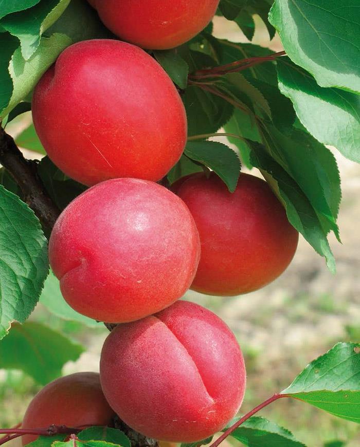 Саженцы абрикоса Приция (однолетний)