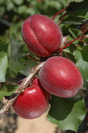 Саженцы абрикоса Рубиста (однолетний), фото 2