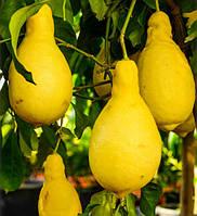 Лимон Грушевидный Перетта (Citrus limon Peretta) 30-35 см. Комнатный