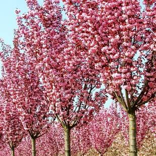 Саженцы Сакуры Канзан - вишня мелкопыльчатая, декоративная -  Prunus serrulata Kanzan