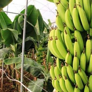 Саджанці Банана карликовий Пігмей (Pigmay) - великоплідний, солодкий, невибагливий