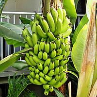 Саженцы Банана Кавендиш (Dwarf Cavendish) - сладкий, неприхотливый, скороплодный