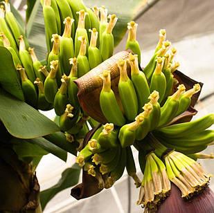 Саджанці банана кімнатного Київський карлик - холодостійкий, солодкий, невибагливий