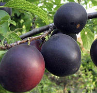 Саженцы абрикоса  Черный Бархат