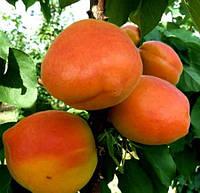 Саженцы колоновидного абрикоса Фардао