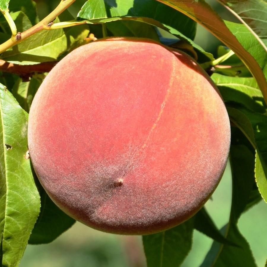 Саженцы персика Фрост