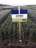Озима пшениця Атлон перша репродукція імпорт(1т)
