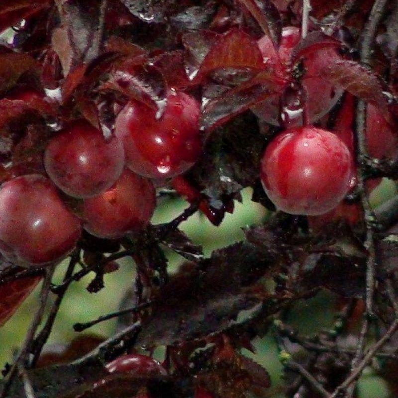 Саженцы персика Бургунди (краснолистный)