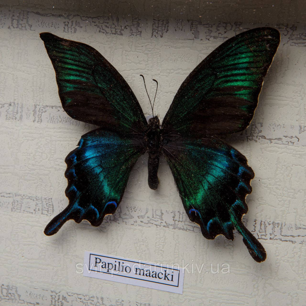 бабочки под стеклом