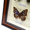 Картина бабочки под стеклом 59*30 QW-7, фото 4