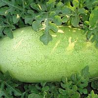 Семена арбуза Чарльстон Грей 0,5 г, Clause