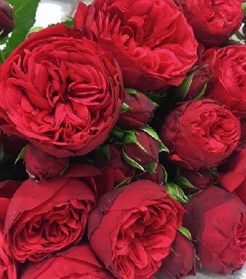 "Троянда ""Red Piano"""