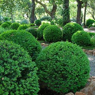 Саджанці Самшиту вічнозеленого (Buxus)