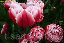 Тюльпан многоцветковый Drumline (Драмлайн)