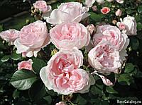 Троянда паркова  Сіндерелла Cinderella Kordes