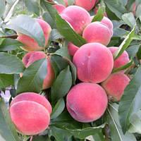 Саженцы персика Рич Мей