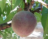 Саженцы персика Блэк Бой (красномясый)
