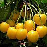 Саженцы Вишни желтой - раннего срока, урожайная, крупноплодная