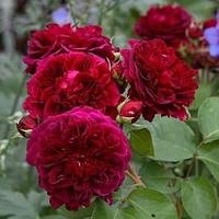 Роза английская Традескант (Tradescant)