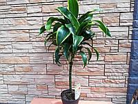 Драцена Dorado на штамбе, фото 1