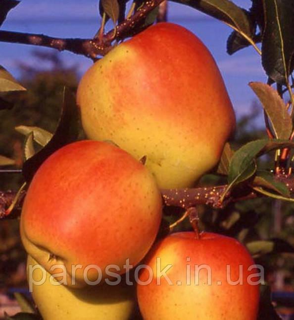 Яблуня Голд Чіф (ММ106). (в). Зимовий сорт